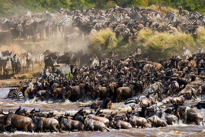 Zèbres et gnous sont prêts à tenter la traversée. Les Antilopes ? Elles sont un peu snobinardes, elle vont passer ailleurs...